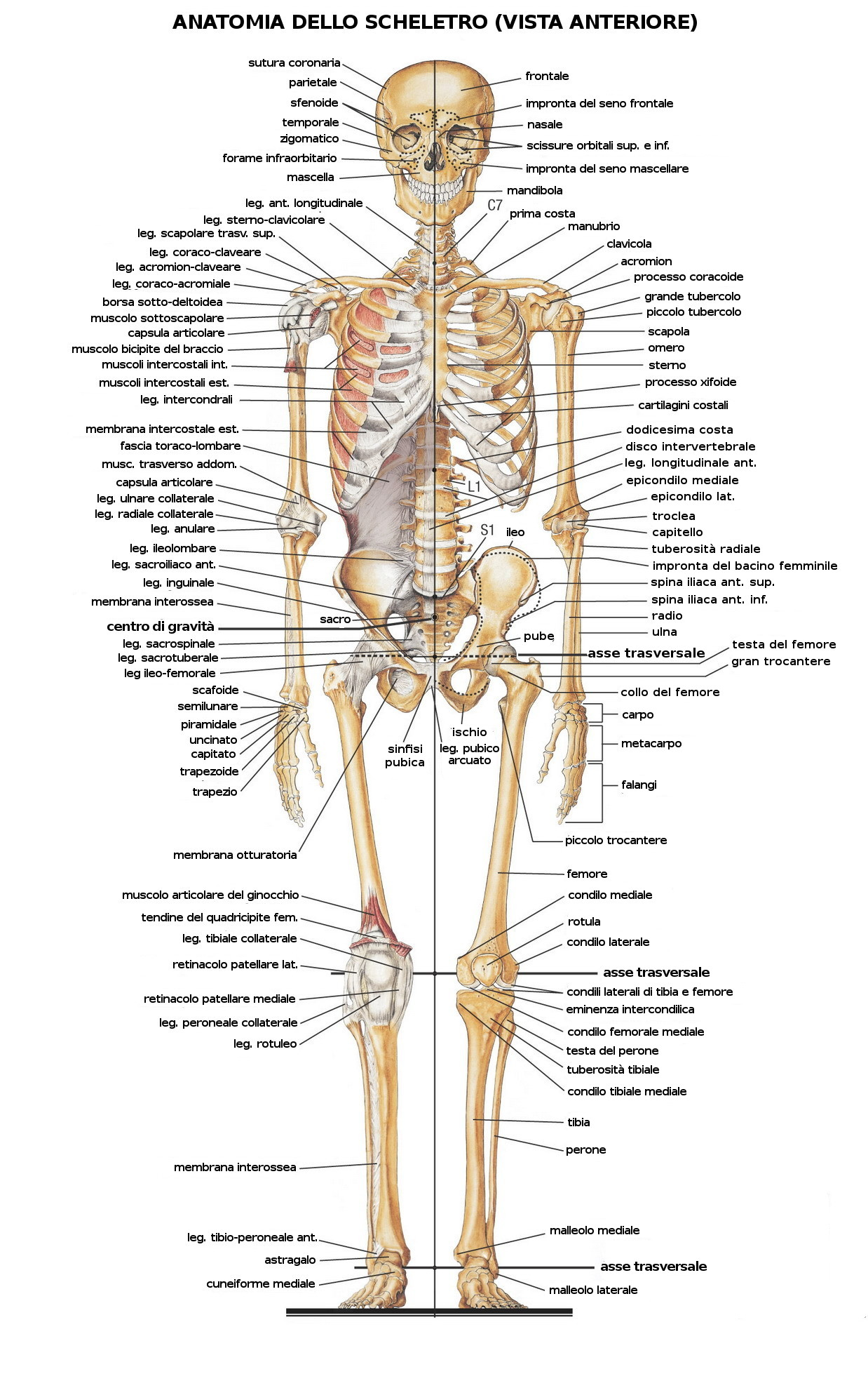 scheletro umano ortopedico legnano biusto arsizio busto garolfo poliambulatorio bustese